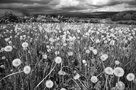 Dandelion Heads on mass in field near Great Salkeld with Eden Valley and Pennines in background, Cumbria